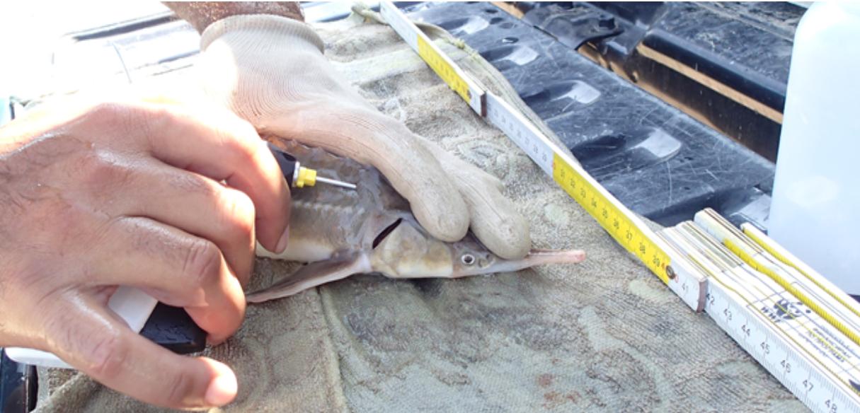 WWF си сътрудничи с рибари при наблюдението на есетри